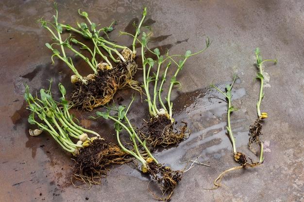 Kiełki grochu z korzeniami i ziemią