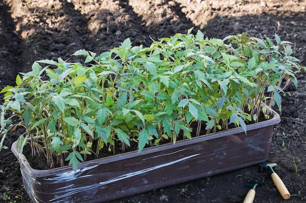 Kiełki pomidora w plastikowym pojemniku przed sadzeniem