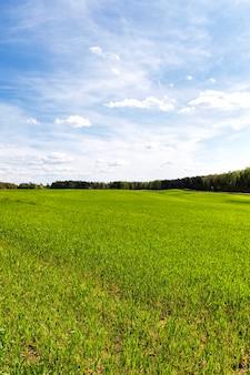 Kiełki pszenicy lub innych zbóż na polach uprawnych w okresie ich aktywnego wzrostu i rozwoju