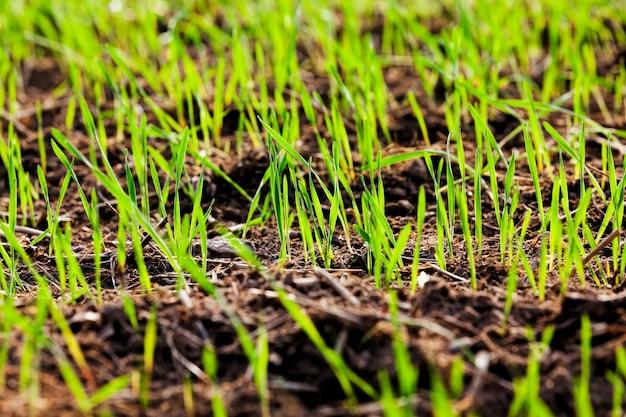 Kiełki pszenicy lub innych zbóż na polach uprawnych w okresie ich wzrostu i rozwoju
