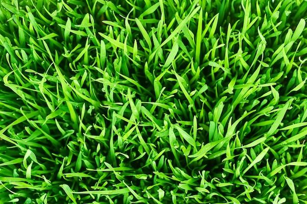 Kiełki pszenicy. trawa pszeniczna. krople wody na świeżych liściach