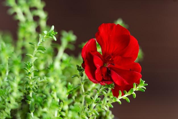Kiełki świeżej rzeżuchy wodnej z kropelkami wody i czerwonym kwiatem z bliska