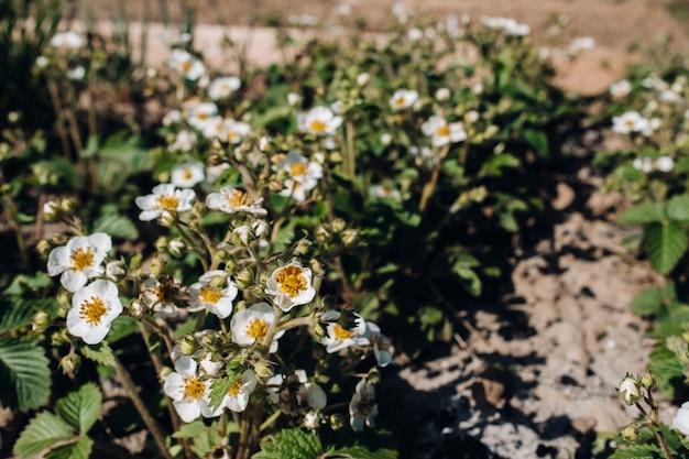 Kiełki truskawek zasiane w ogrodzie i kwitnące