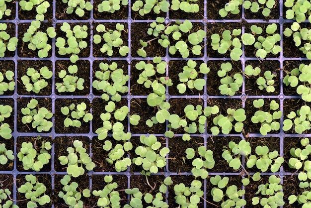 Kiełki warzyw w rozwoju przez hydroponikę