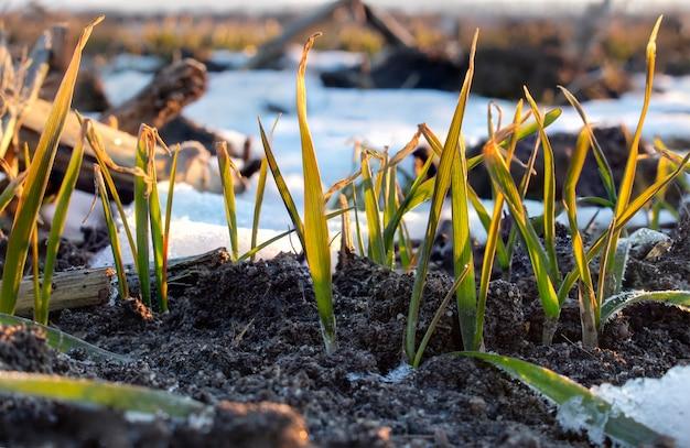 Kiełki zbóż pszenicy ozimej na wiosnę, resztki śniegu, który nie topił się, poranny mróz uszkadzał liście pszenicy, przez co zżółkły i poskręcały się.