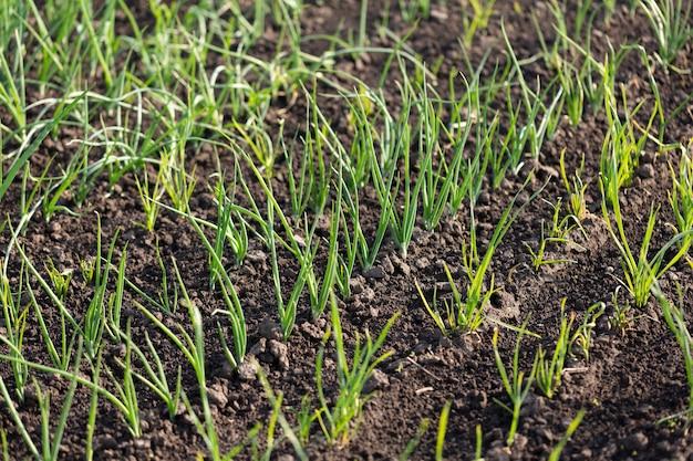 Kiełki zielonej cebuli w ogrodzie warzywnym w rzędach, koncepcja rolnictwa
