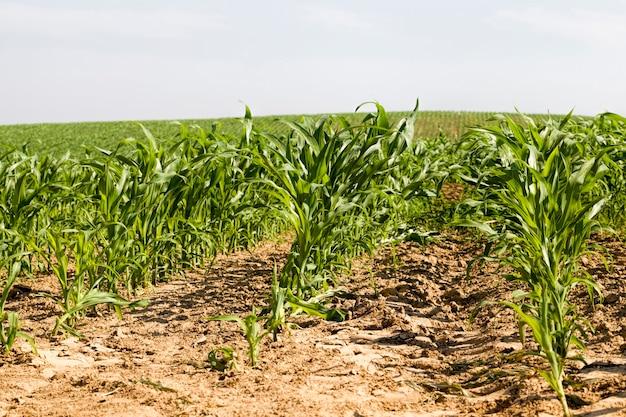 Kiełki zielonej kukurydzy wiosną lub latem