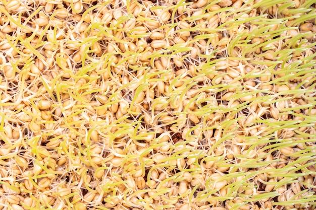 Kiełkująca pszenica, młoda trawa pszeniczna.