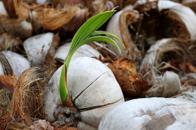 Kiełkujące kokosy na ziemi ze starą suchą łuską kokosa i innymi nowe życie i samotny wzrost