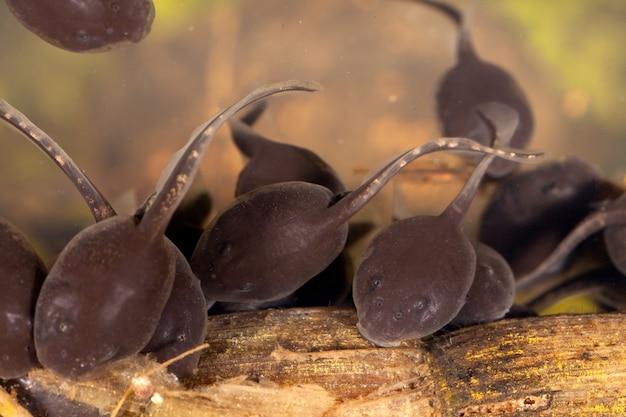 Kijanki pollywog porwigle płazowe stadium larwalne