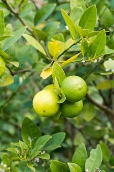 Kilka cytryn na drzewie cytrynowym. indywidualna plantacja. cytryna jest bogata w witaminę c.