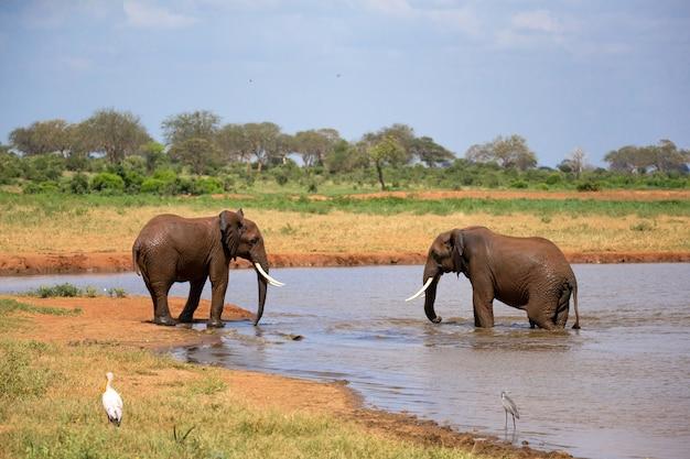 Kilka czerwonych słoni na wodopoju na sawannie w kenii