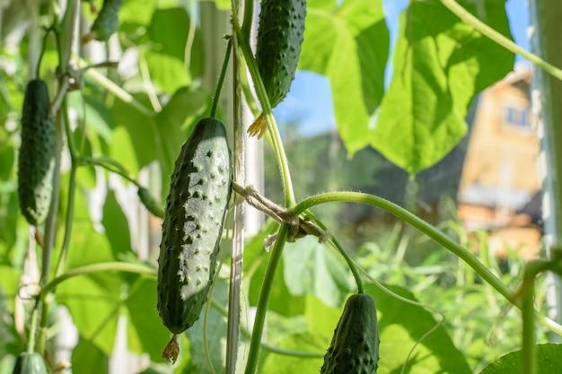 Kilka dojrzałych zielonych ogórków wisi na gałęzi w szklarni w jasnych promieniach słońca