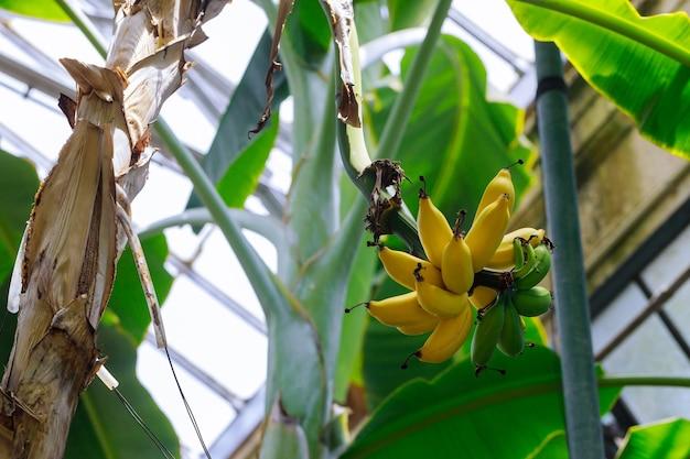 Kilka dojrzałych żółtych bananów na drzewie