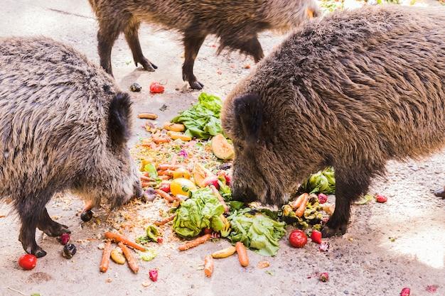 Kilka jabalie jedzenie owoców i warzyw