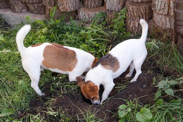 Kilka jack russell terrierów kopie psią dziurę w podwórku, na zewnątrz. psy bawiące się na świeżym powietrzu w parku