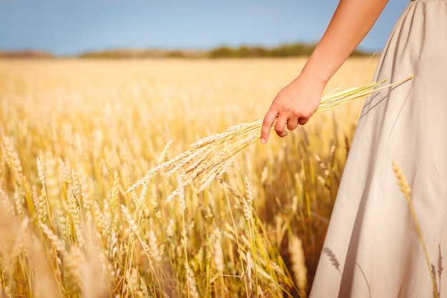 Kilka kłosy pszenicy w kobiecej dłoni na złotym polu pszenicy