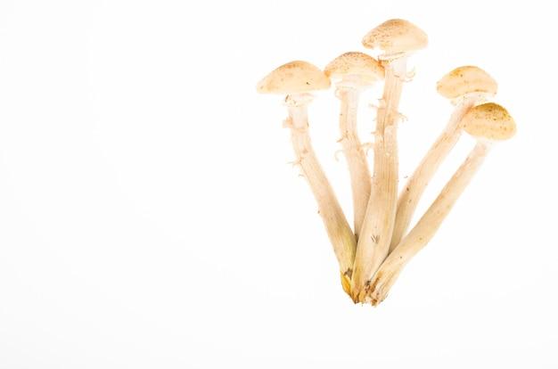 Kilka leśnych grzybów jadalnych jesienią miód agarics na białym tle. zdjęcie studyjne.