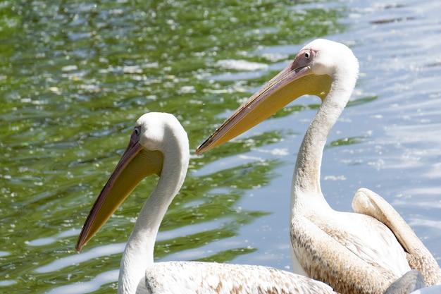 Kilka młodych pelikanów na brzegu jeziora latem wygrzewa się na słońcu. zdjęcie wysokiej jakości