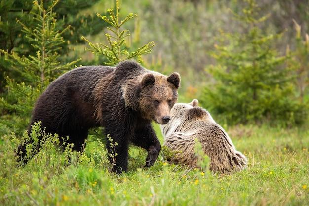 Kilka niedźwiedzi brunatnych w mokrym wiosennym lesie w okresie godowym
