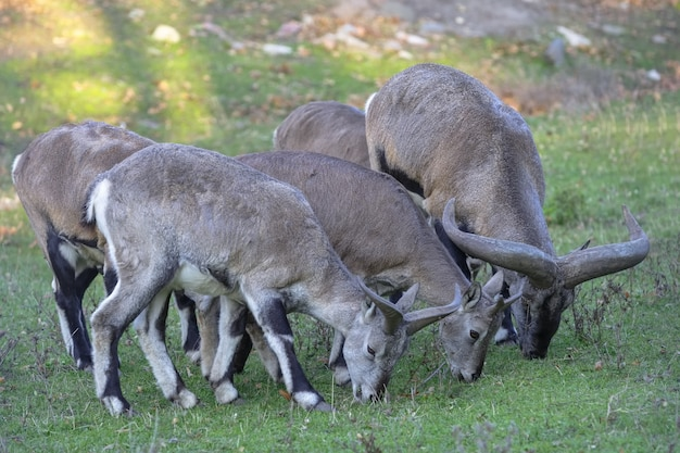 Kilka owiec jedzących trawę