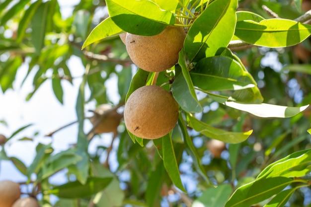 Kilka owoców na drzewie z błękitnym niebem w słoneczny dzień