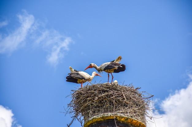 Kilka pięknych bocianów siedzących na gnieździe