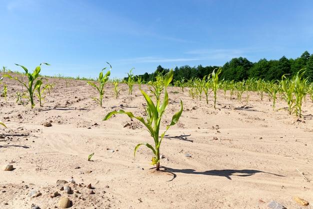 Kilka pierwszych łodyg kukurydzy wyrosło na polu uprawnym. photo makro wiosny z błękitne niebo. słoneczny dzień, rośliny są oświetlone po lewej stronie