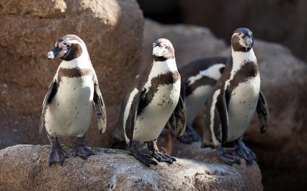 Kilka pingwinów