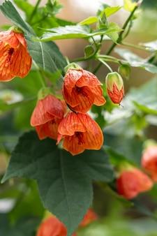 Kilka pomarańczowych kwiatów abutilon hybridum na gałęzi