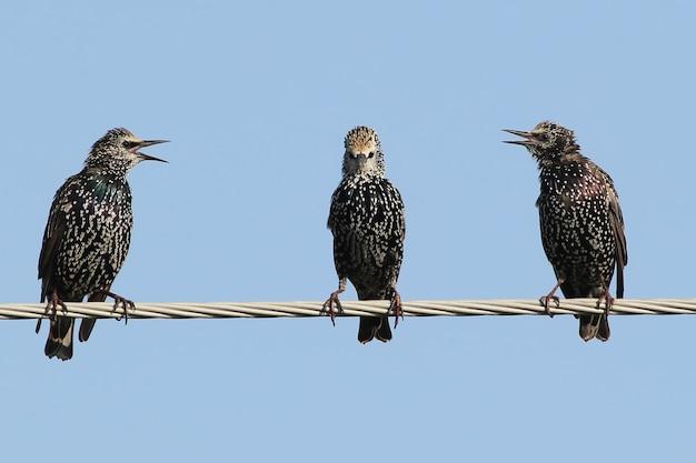 Kilka pospolitych szpaków siedzi na drutach i kłóci się.