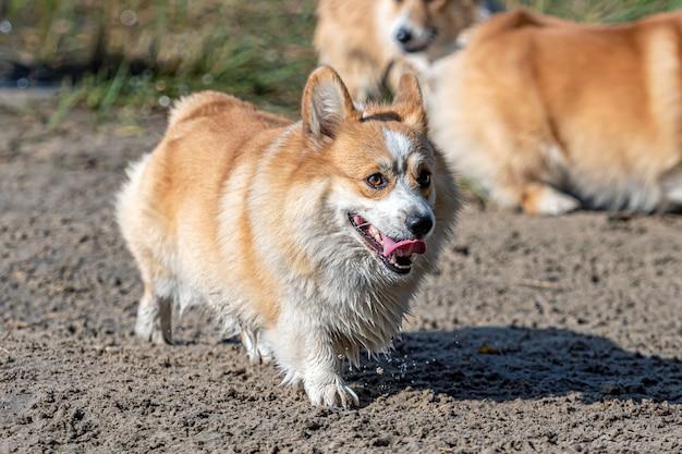 Kilka psów rasy welsh corgi bawi się w słoneczny dzień na piaszczystej plaży nad jeziorem