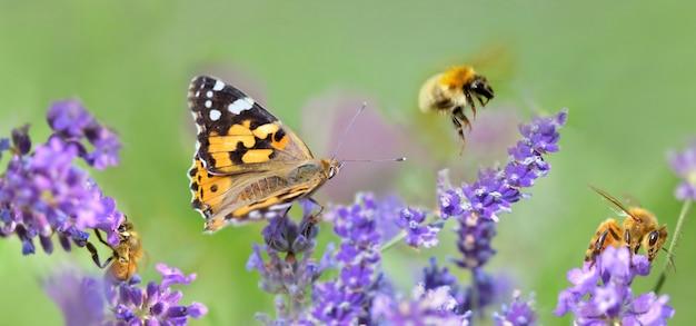 Kilka pszczół miodnych i motyli na kwiatach lawendy w panoramicznym widoku