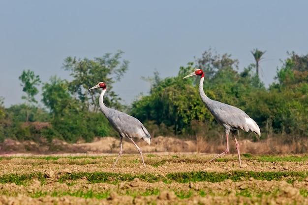 Kilka sarus żuraw waliking w polu