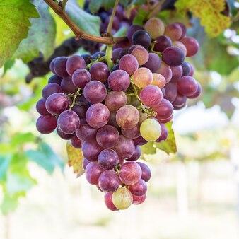 Kilka świeżych owoców winogron w winnicy