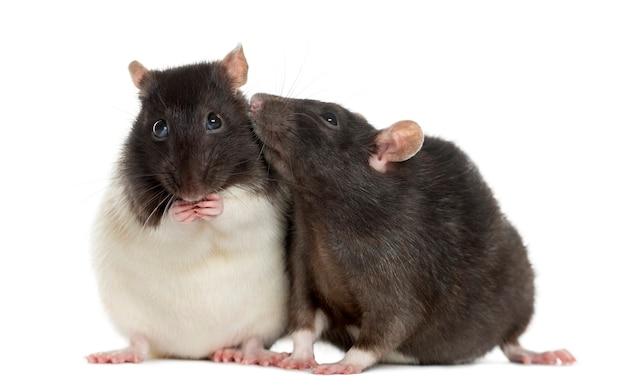 Kilka szczurów siedzi i wącha, na białym tle