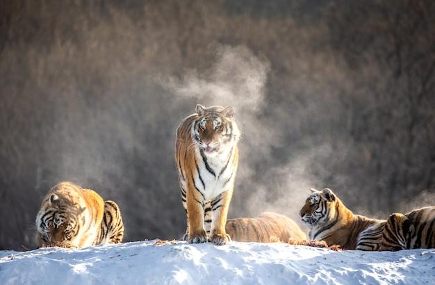 Kilka tygrysów syberyjskich (amurskich) na zaśnieżonym wzgórzu