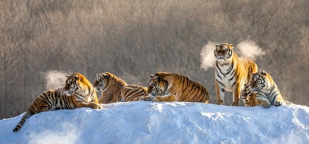 Kilka tygrysów syberyjskich na zaśnieżonym wzgórzu na tle drzew zimą. park tygrysów syberyjskich.