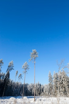 Kilka wysokich sosen w lesie całkowicie pokrytym nocnym przymrozkiem. krajobraz zimą z błękitnym niebem w pogodny, słoneczny dzień