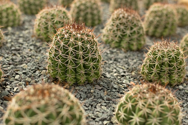 Kilka zielonych kaktusów