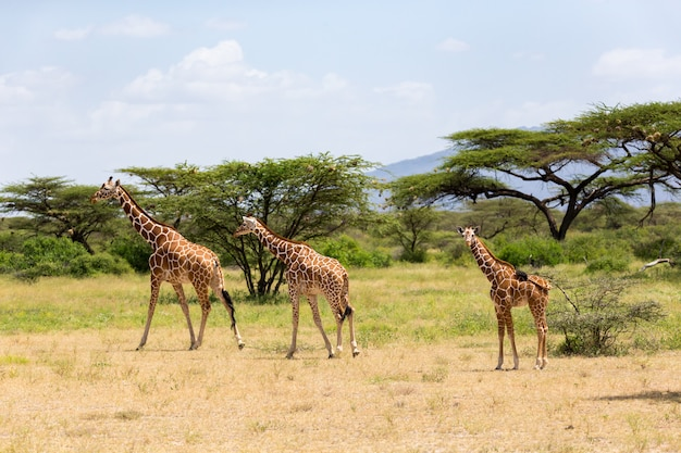 Kilka żyraf przechodzi przez łąkę