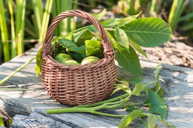 Killogramy zielonych niedojrzałych orzechów włoskich gotuje się przed dojrzewaniem w celu przygotowania nalewki leczniczej lub leku. gałąź orzecha włoskiego z młodymi liśćmi na słońcu.