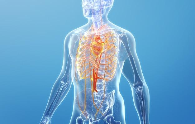 Kino 4d rendering struktury układu krążenia człowieka human