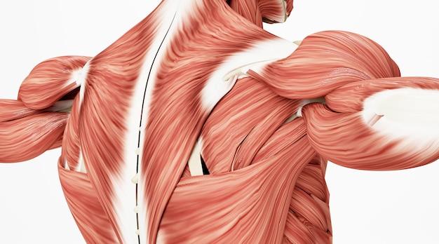 Kino renderowania 4d mięśni na ciele ludzkim na białym tle
