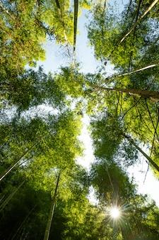 Kioto, japonia w bambusowym lesie.