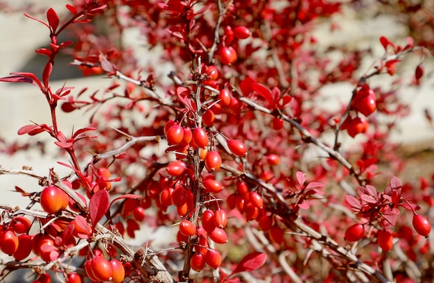 Kiść czerwonych berberysów na ciernistej gałęzi w słońcu