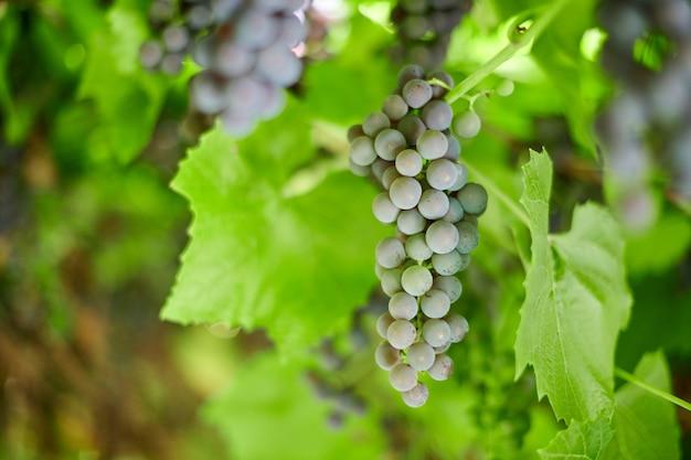 Kiść czerwonych winogron na winnicy. stołowe czerwone winogrona z zielonymi liśćmi winorośli. jesienne zbiory winogron do produkcji wina, dżemu i soku. słoneczny dzień września.