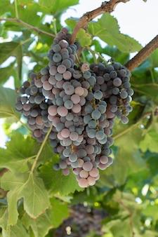 Kiść czerwonych winogron w zielonej gałęzi