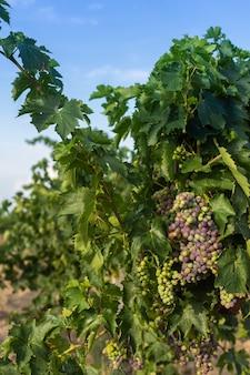 Kiść niedojrzałych niebieskich winogron z liśćmi, winnica jesienią