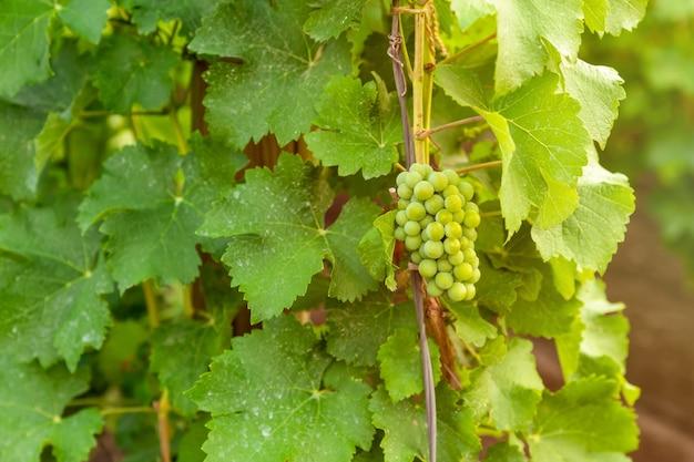 Kiść winogron jesienią z bliska zachód słońca. młode krzewy winorośli. produkcja wina. rośliny na drewnianych palach.
